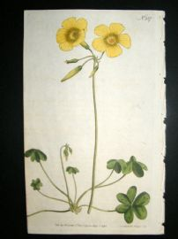 Curtis 1793 Hand Col Botanical Print. Goats Foot Wood Sorrel 237